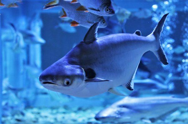Пангасиус – пресноводная рыбка, напоминающая акулу