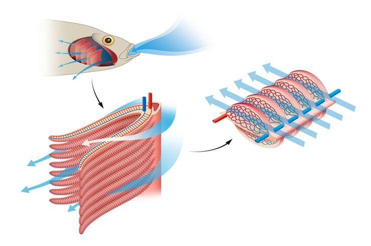 Схема жаберного дыхания у рыб
