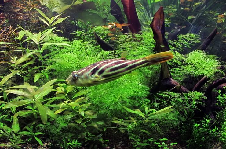 Тетраодон в аквариуме с живыми растениями
