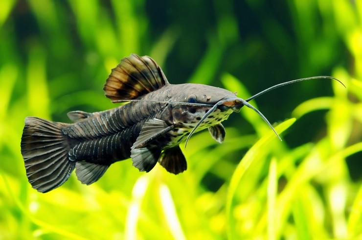 Торакатум в аквариуме с живыми растениями