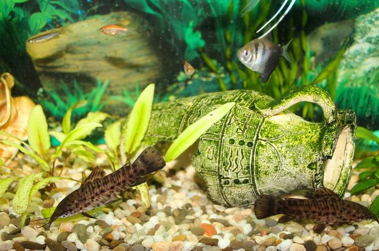 Торакатумы хорошо уживаются с большинством видов рыб