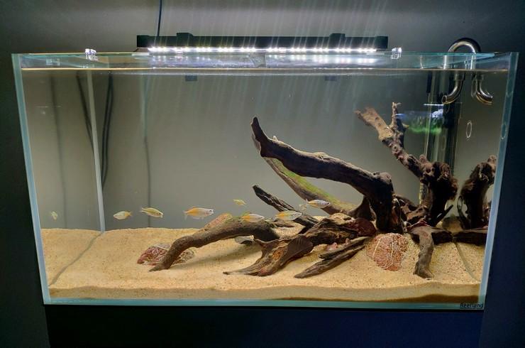 Жители нового аквариума — радужницы Боэсмана