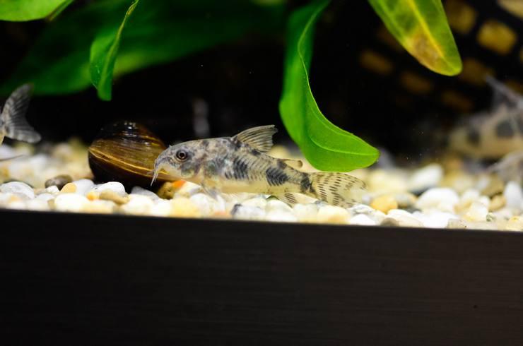 Большую часть времени крапчатые коридорасы проводят на дне аквариума