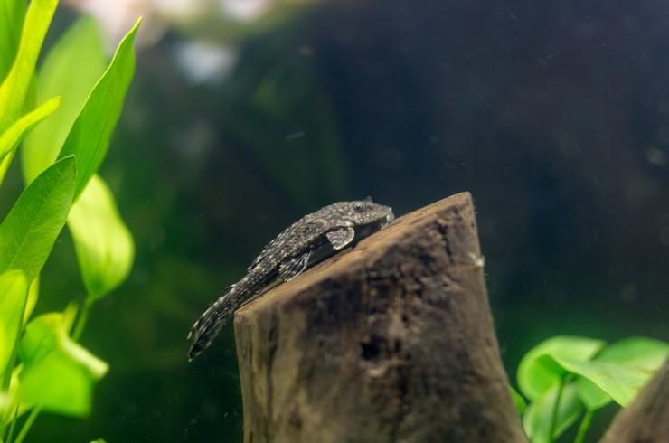Коряги – обязательный элемент в аквариумах с плекостомусами