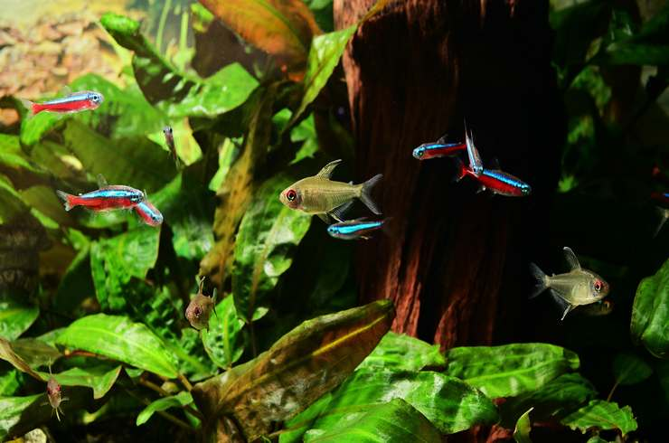 Красные неоны хорошо уживаются с соразмерными рыбками