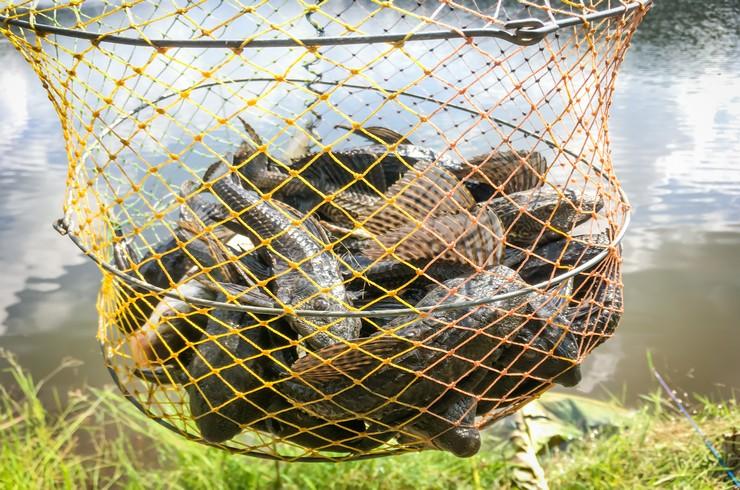 Плекостомусы – объект рыболовного промысла у местного населения
