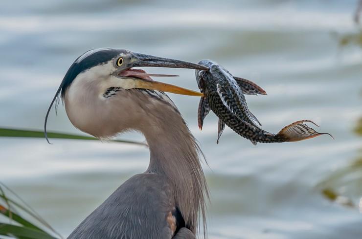 Прибрежные птицы часто охотятся на плекостомусов