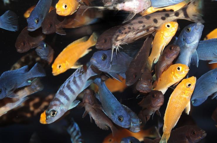 Синодонтисы прекрасно уживаются с малавийскими цихлидами