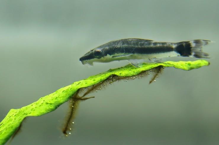 Сомики отоцинклюсы помогают бороться с водорослями, не повреждая при этом высших растений