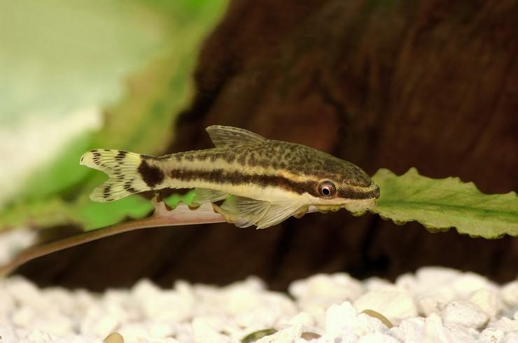 В аквариумах с отоцинклюсами необходимы живые растения и коряги