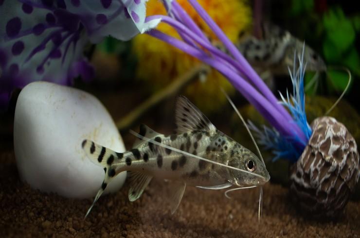 В аквариумах с синодонтисами нужны укрытия