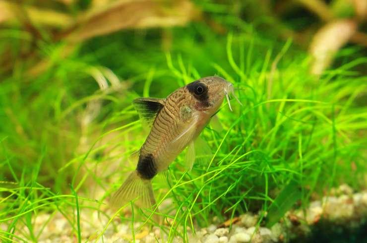 В аквариумах с сомиком пандой требуются укрытия и живые растения