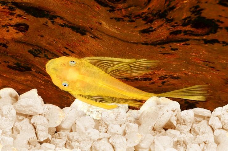 В аквариумах с вуалевыми анциструсами должны быть натуральные коряги