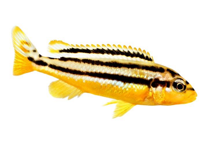Меланохромис золотой. Внешний вид