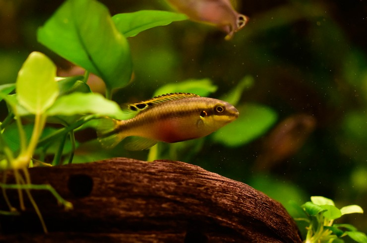 Натуральные коряги – отличное убежище для пельвикахромисов