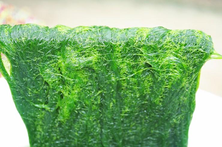 Нитчатые водоросли образуют плотные скопления