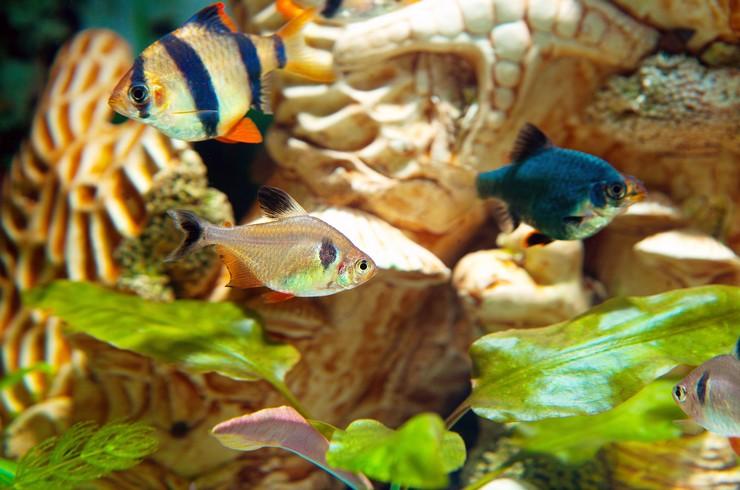 Орнатусы хорошо уживаются с близкими по размеру рыбками