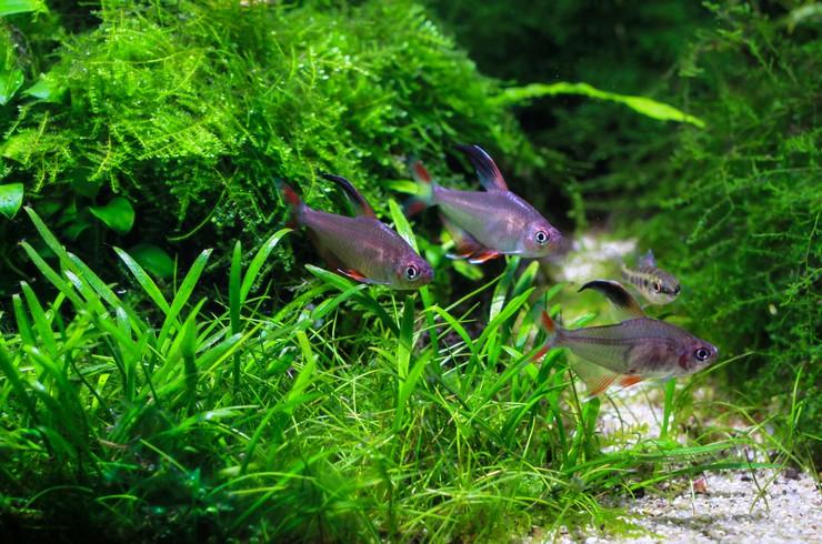 Орнатусы в аквариуме с живыми растениями