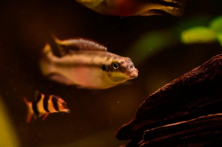 Пельвикахромисы хорошо уживаются с соразмерными рыбками