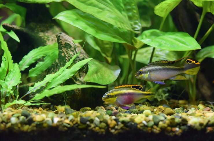 Пельвикахромисы в аквариуме с живыми растениями