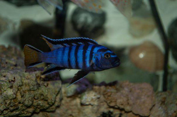 Псевдотрофеусы – популярные аквариумные обитатели