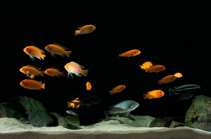 Псевдотрофеусы в общем аквариуме