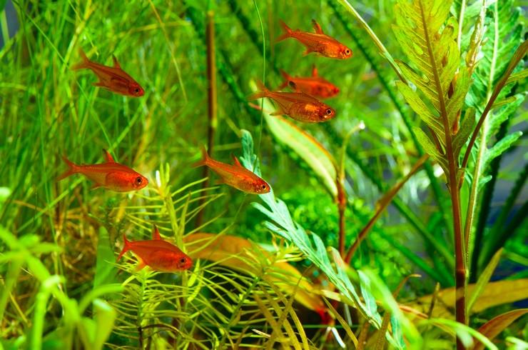 Тетра Аманды в аквариуме с живыми растениями