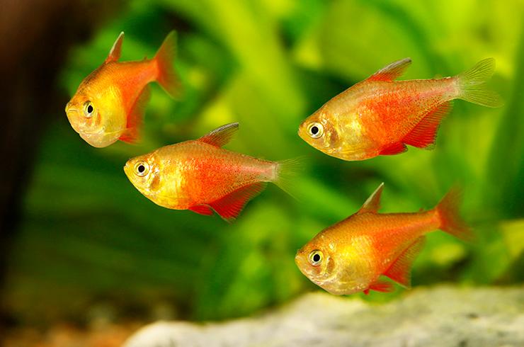 Тетры фон рио в аквариуме