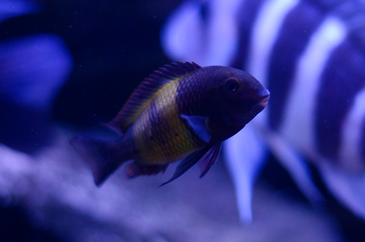 Трофеус в общем аквариуме