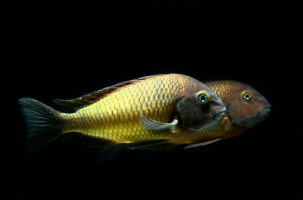 Трофеусы – эндемики озера Танганьика