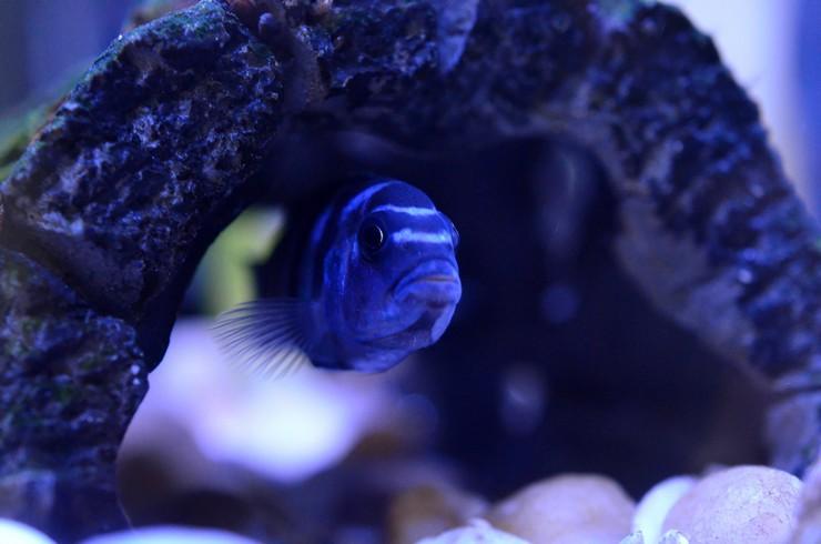 Укрытия – обязательный элемент в аквариумах с меланохромисами