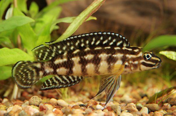 Юлидохромисы – эндемики озера Танганьика