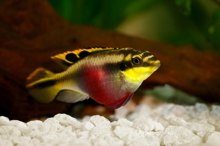 За изогнутую мордочку и яркую окраску пельвикахромиса называют «попугайчиком»