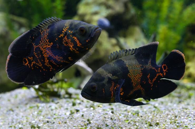 Цихлиды – хороший пример рыбок, многие из которых являются территориальными и агрессивными