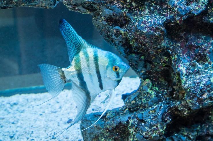 Голубая скалярия — селекционная порода обыкновенной скалярии