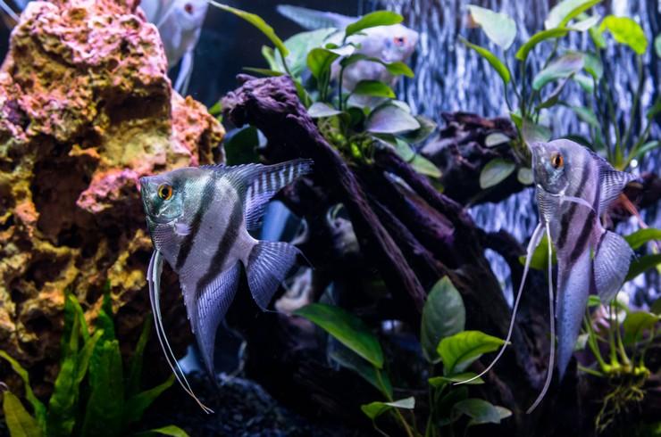 Голубых скалярий можно содержать парами или небольшими группами