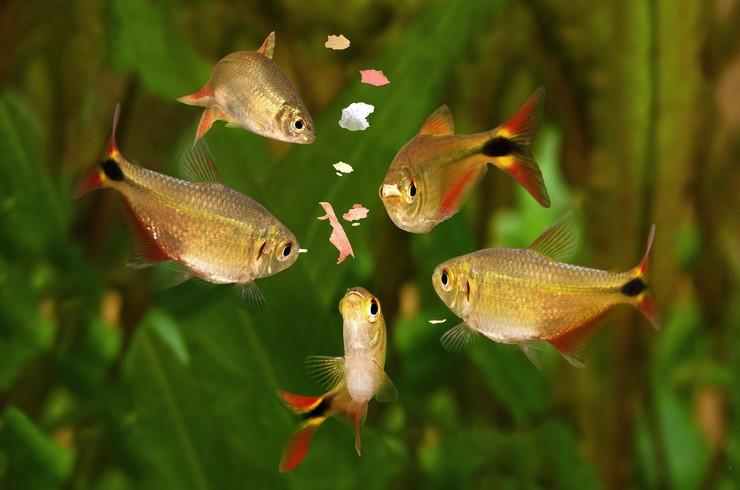 Хлопья – сбалансированный сухой корм, подходящий для большинства видов рыб