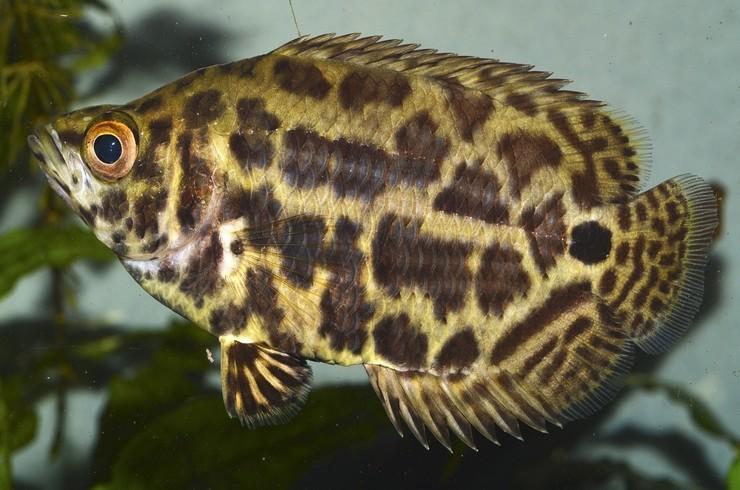 Ктенопома леопардовая – лабиринтовая рыбка из Африки