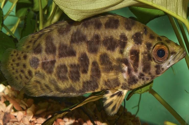 Ктенопомы любят прятаться в зарослях растений
