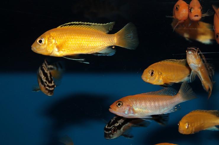 Лабидохромис Еллоу в общем аквариуме