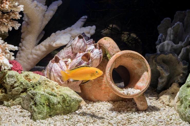 Лабидохромис Еллоу в псевдоморском аквариуме