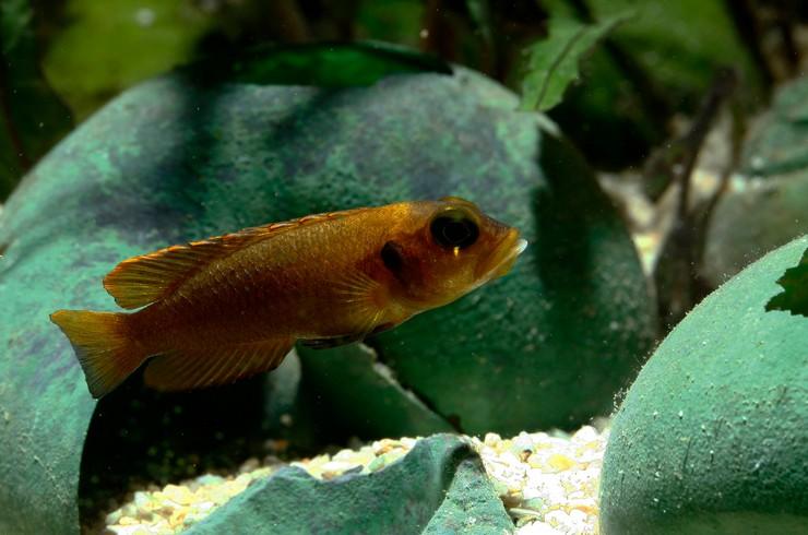 Лампрологус в аквариуме с живыми растениями