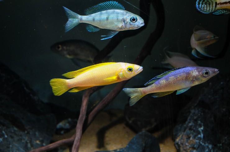 Лампрологус в общем аквариуме