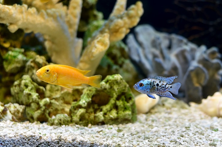 Молодая цихлазома Блю Демпси в общем аквариуме