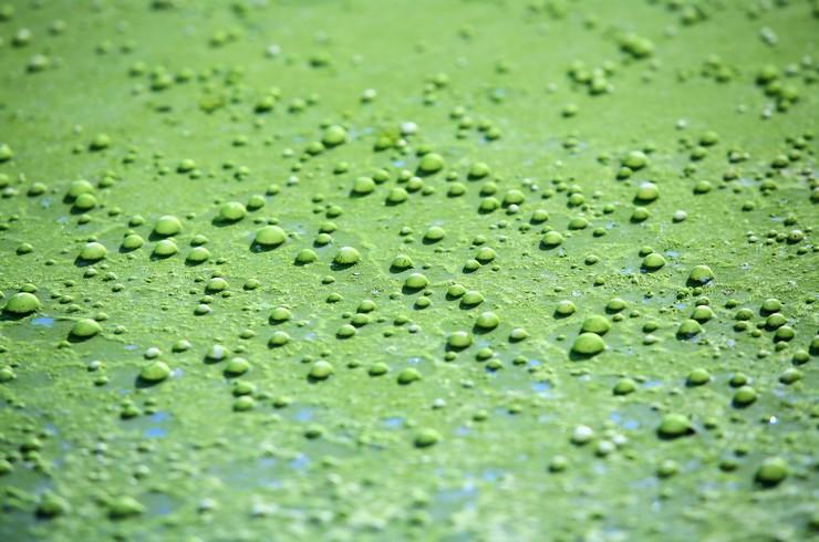 При сильном освещении на сине-зеленых водорослях возникают пузырьки воздуха