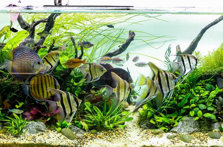 Природный стиль оформления аквариума очень идет скаляриям