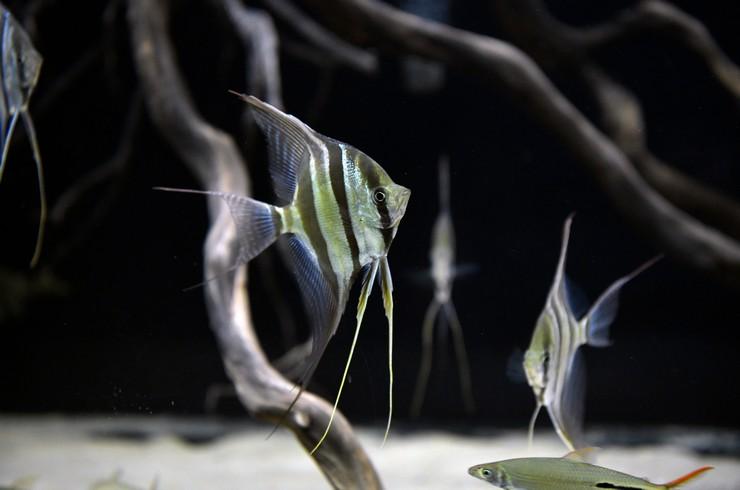 Размах плавников альтумов может достигать 40 см