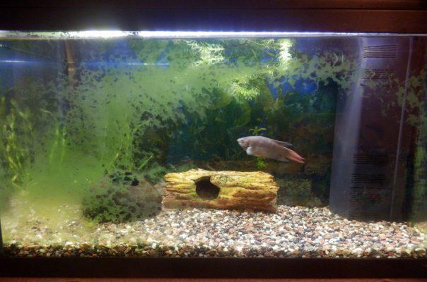 Сине-зеленые водоросли на стенке аквариума