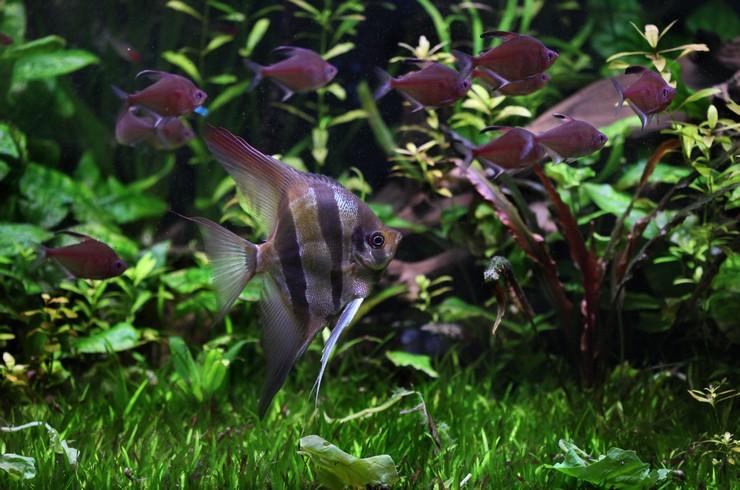 Скалярия альтум в общем аквариуме