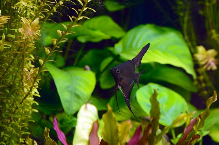 Скалярия черная – селекционная форма обыкновенной скалярии